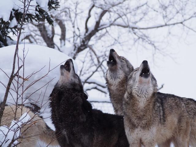 ウルフピー(オオカミ尿)