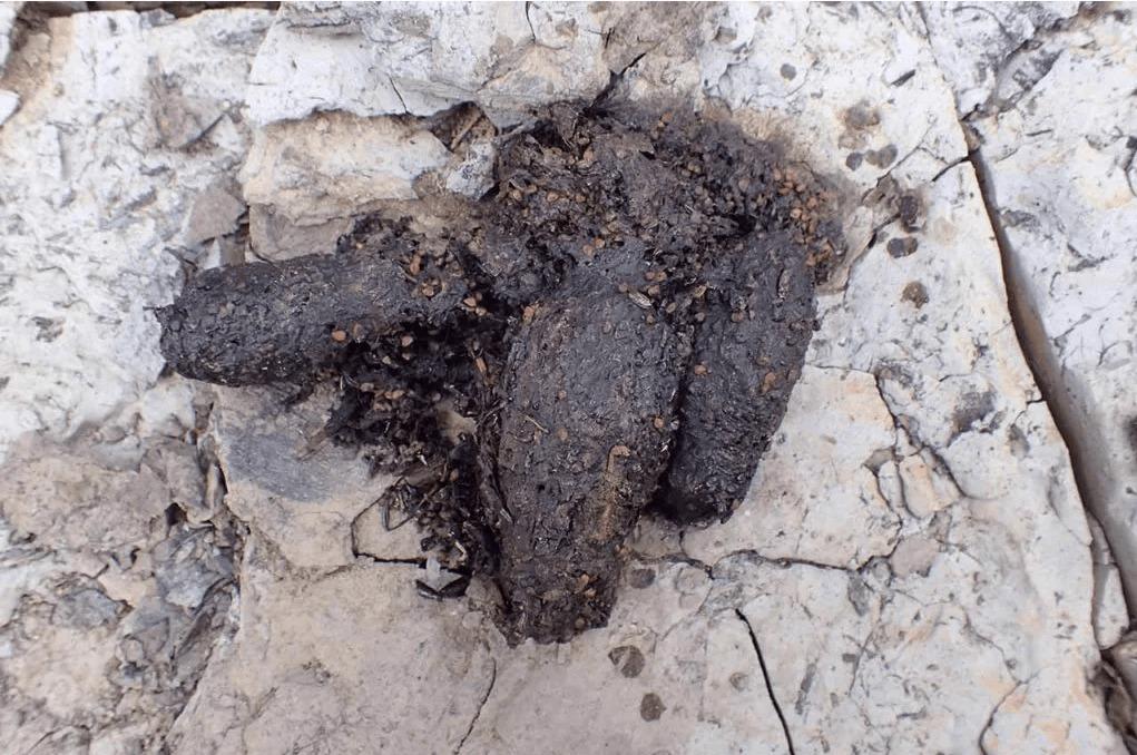 ハクビシンの糞とアライグマの糞との違い