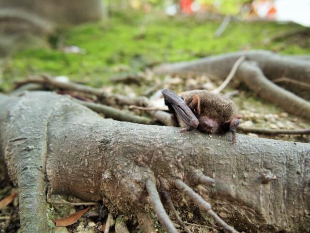 【コウモリの被害事例】危険性を理解して正しい駆除をしよう!