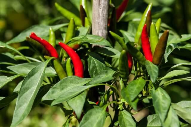 イノシシ対策に唐辛子を植えるのは効果ある?