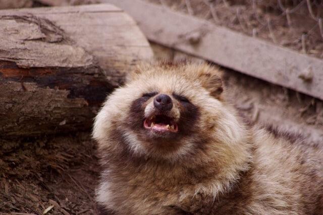 タヌキは丸みのある犬っぽい顔