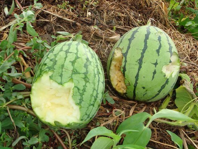 タヌキの被害は畑や農作物を荒らすことが多い