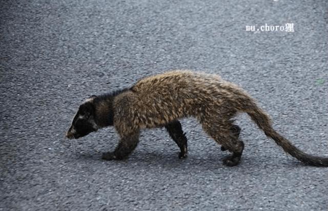 ハクビシンのしっぽは長い