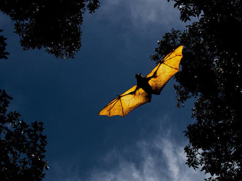 コウモリはなぜ明かりに集まるの?光やライトで対策できるか解説!