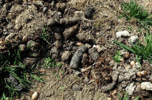 タヌキの糞は小さめ
