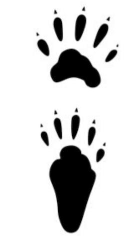アライグマの足跡は5本指で大きくはっきりしている