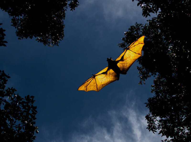 夜だけコウモリの来る家はナイトルースト(=休憩場所)の可能性がある