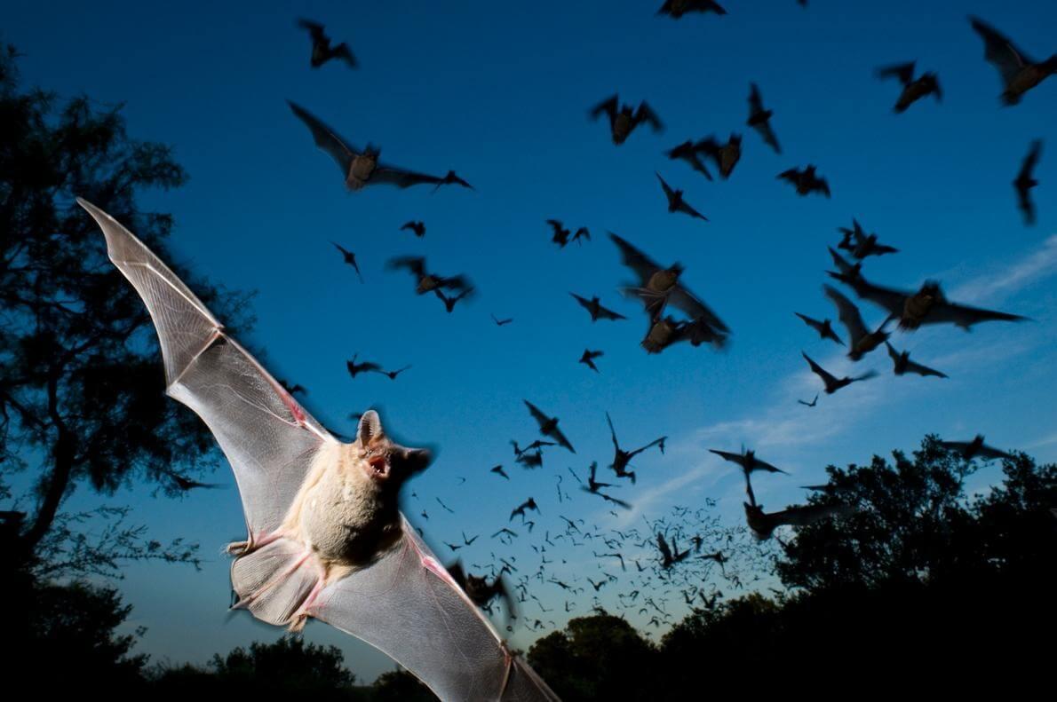 明かりにコウモリが集まってくる理由