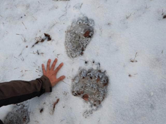 タヌキと熊の足跡の違い