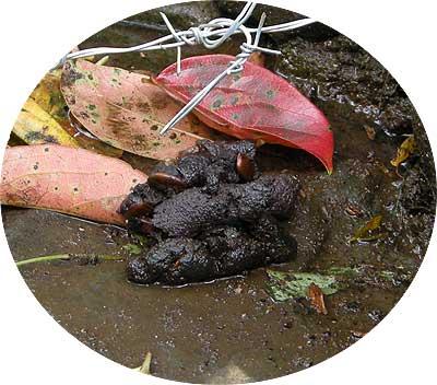 タヌキのため糞には骨や種子などが混ざっている